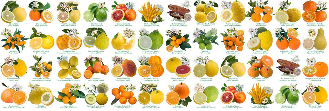 Différentes variétés d'agrumes
