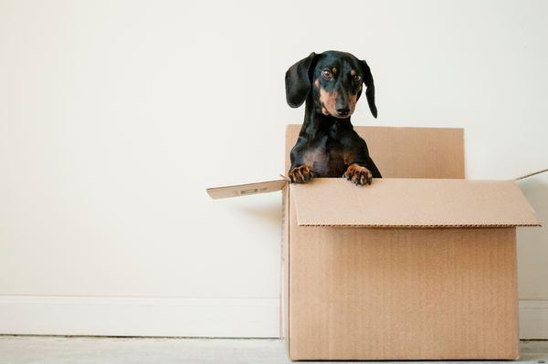 Chien dans un carton de déménagement